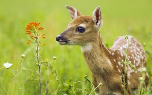 hd-deer-animal-wallpapers-images-photos-0517192851